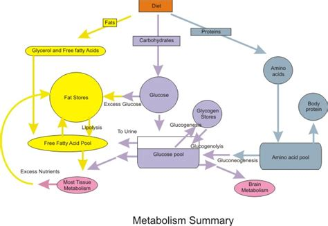 metabolism diagram file nutrition metabolic summary jpg wikimedia commons