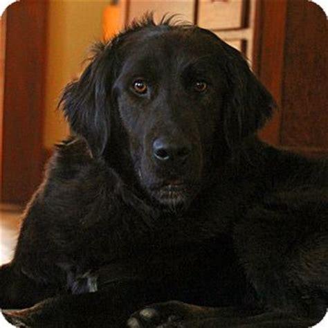 golden retriever newfoundland puppies lafayette in golden retriever newfoundland mix meet molly a for adoption