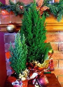 blue european cypress christmas tree chamaecyparis