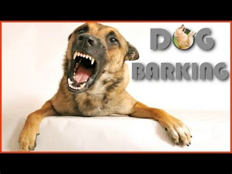 dog barking sound effect   quality youtube