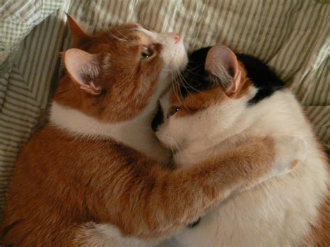 cat hugging these adorable pics of cats hugging are squee guaranteed scout