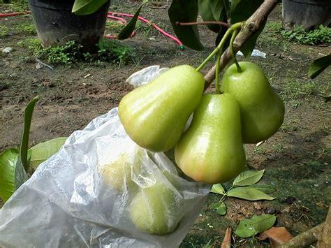 Jual Bibit Jambu Air Cincalo jenis jenis jambu madu doctor jambu madu
