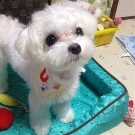 what is the best cut for a malti poo 24 best images about maltese and yorkie hairstyles on