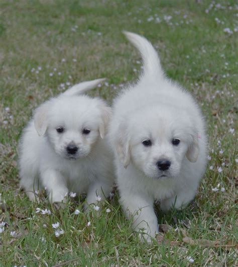 southern gold golden retrievers white golden retriever puppies for sale golden retriever breeder southern charm