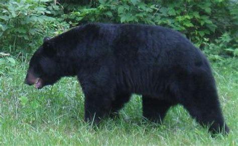 big black bear big black bear pictures