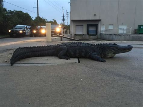 residents run into 800 pound alligator in home depot