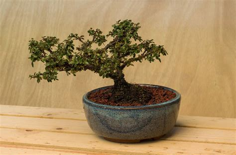 bonsai planter bonsai pots nehalembaypottery