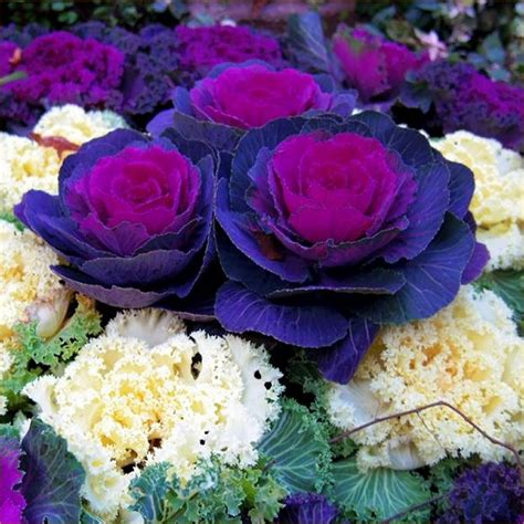 ornamental cabbage buy ornamental brassica cabbage selection pack of ten plants
