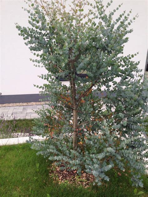 Eukalyptus Pflanze Kaufen by Eukalyptus Pflanze Kaufen Excellent With Eukalyptus