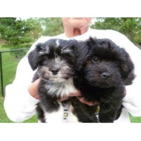 havanese breeders in new york midnight s havanese havanese breeder in lockport new york listing id 20803