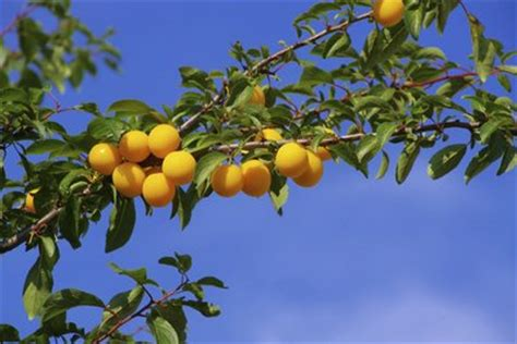 Gelbe Pflaumen Marmelade 4104 gelbe pflaumen marmelade apfel bananen gelbe pflaumen