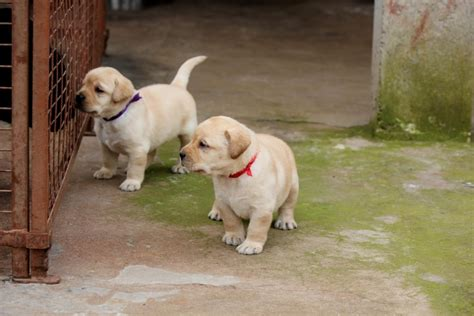 cost of golden retriever puppy in india 2017 baby attractive labrador retriever price in india for sale pictures images