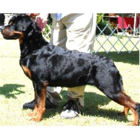 rottweiler oregon rottweiler puppies for adoption in oregon breeds picture