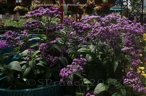Gardens West Bloomfield by Plantfiles Pictures Heliotrope Common Heliotrope Cherry