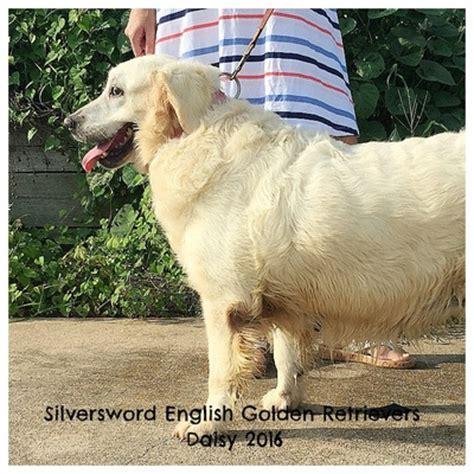 retired show dogs for adoption golden retriever silversword akc golden retriever females silversword golden retrievers