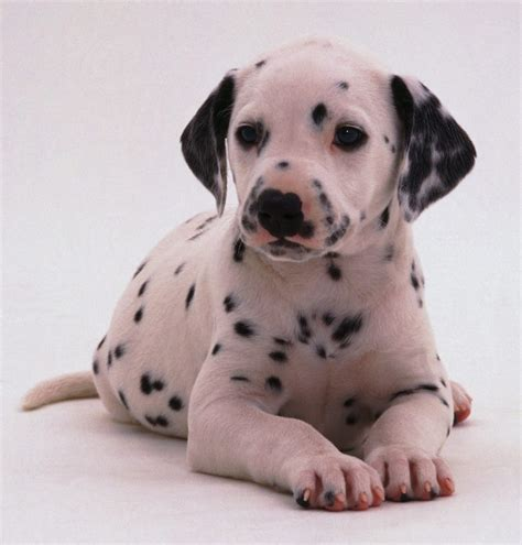 dalmation puppy dalmations clothing products news and tips