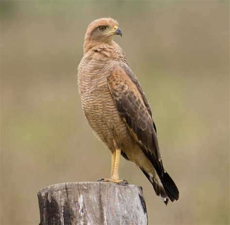 savanna hawk the full wiki