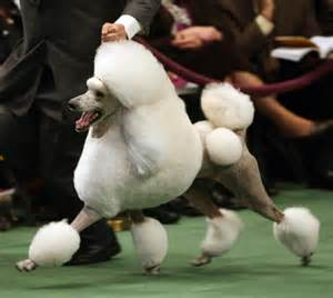 Dog show betting guide which dogs are most likely to win best in show
