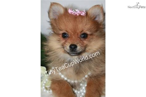 teacup pomeranian puppies for sale in alabama teacup pomeranian puppy doberman puppies for sale breeds picture