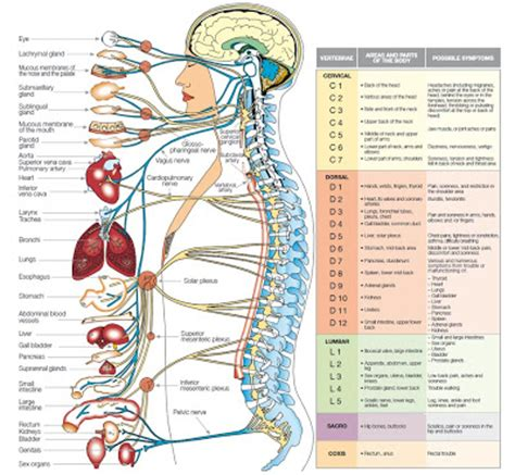 nerves of the human diagram the most wonderful creature human organs