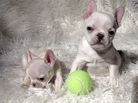 bulldog puppies for sale in louisiana bulldog puppies for sale lancaster puppies rachael edwards