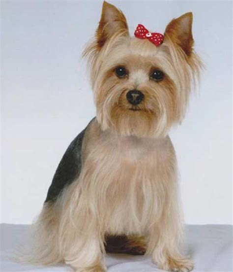 how to cut a yorkie s hair at home grooming tips for your yorkie