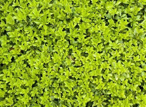 pflegeleichte pflanzen für den garten immergr 252 ne bodendecker pflegeleichter garten