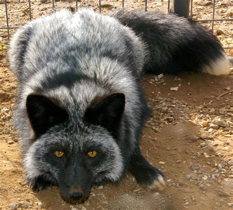 domesticated silver fox want foxy pinterest
