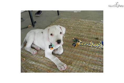 dogo argentino puppies for sale near me kilo 8 week 600 obo argentine dogo puppy for sale near ames iowa 2e91a446 b121