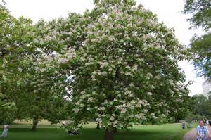 Purple Flowering Shrubs Australia - catalpa bignonioides landscape architect s pages