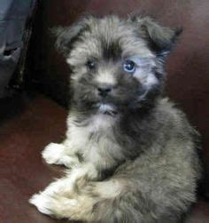 rescue havanese dogs 1000 images about havanese cuties on havanese puppies search and adoption