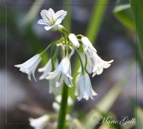 pianta fiori bianchi fiori bianchi foto immagini piante fiori e funghi