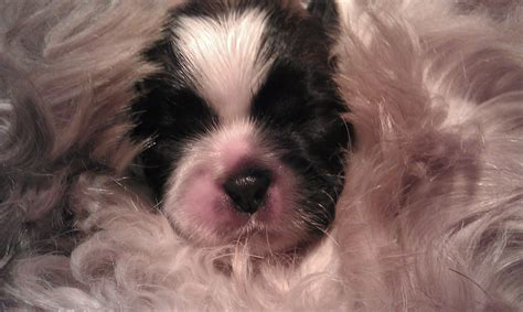 caring for shih tzu puppies shih tzus by imperial tribble breeds picture
