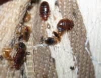 punaise de lit bretagne insectes