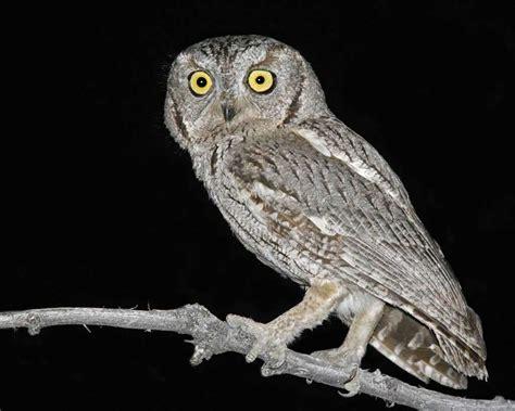 L Owl by Western Screech Owl Audubon Field Guide