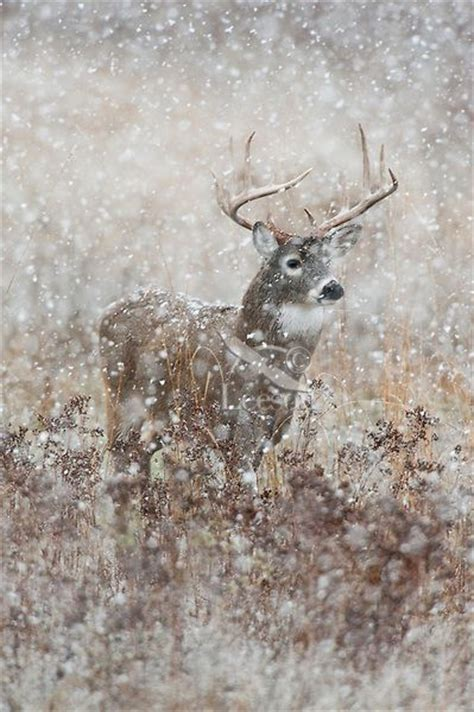Snowing Deer pics for gt whitetail bucks in snow