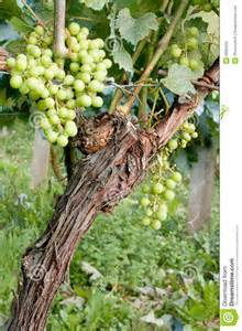 Fruit Trellis Single Grapevine Stock Photos Image 5992043
