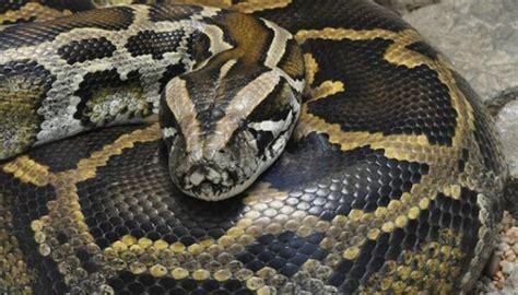 video film ular piton petugas pemadam buru ular sanca di rumah warga duri utara