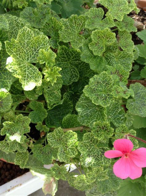best scented geranium indoors 373 best images about pelargonium geranium герани on gardens april snow and window
