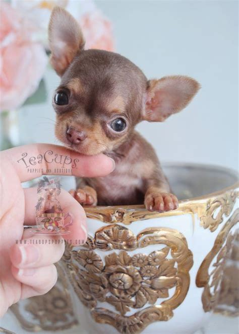 micro teacup chihuahua puppies for sale best 25 teacup chihuahua ideas on teacup chihuahua puppies teacup