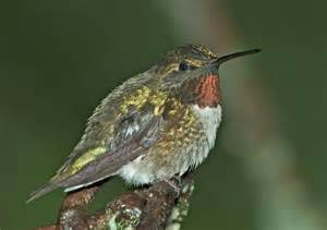backyard bird identification hummingbirds