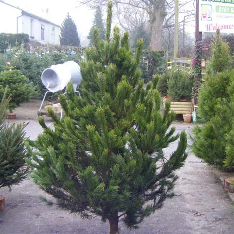 how long do real christmas trees last pyracantha co uk