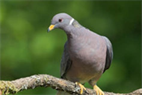grey dove with black ring around neck birdfellow birding services social networking and habitat conservation