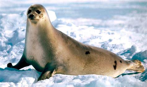 reproduccion de las focas imagenes  fotos