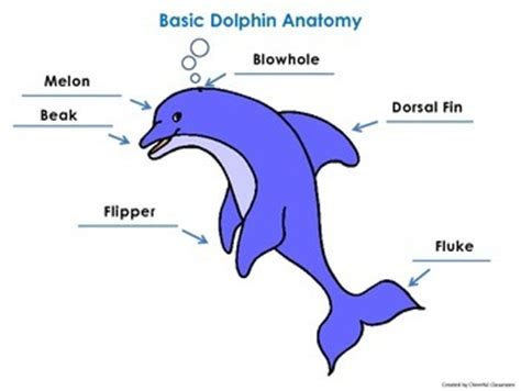 bottlenose dolphin cycle diagram basic dolphin anatomy diagr by cheerful classroom