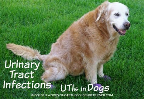 puppy bladder infection urinary tract infections utis in dogs golden woofs
