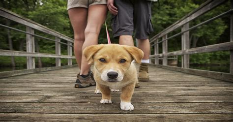 when do puppies walk taking him for a walk how to do it properly dogalize