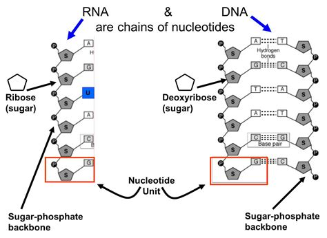 nucleic acid diagram nucleic acids are chains of nucleotides exles of