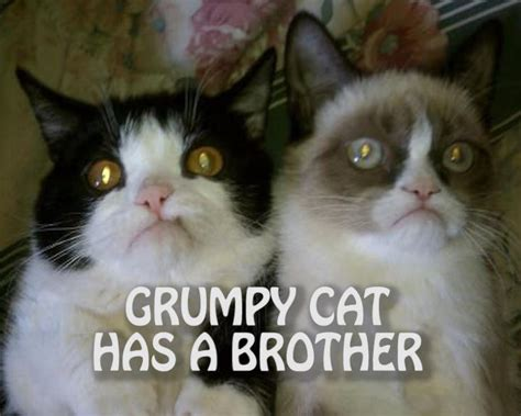 Grumpy Cat Coma Meme - grumpy cat has a brother grumpy cat know your meme