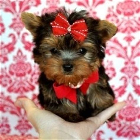 free yorkie puppies in tn yorkie puppies tails docked up to date akc registered in image breeds picture